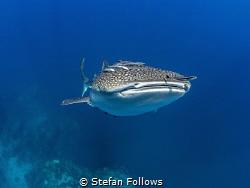 Blue Day  Whale Shark - Rhincodon typus Sail Rock, Thai... by Stefan Follows