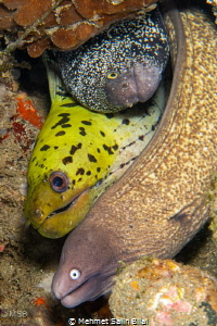 Different moray species living together. by Mehmet Salih Bilal