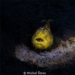 Juvenile yellow frogfish by Michal Štros