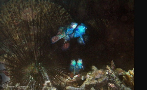Two Pairs of Mating Mandarinfish/Photographed with a Cano... by Laurie Slawson