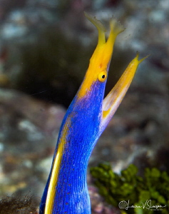 Ribbon eel, male phase/Photographed with a Canon 60 mm ma... by Laurie Slawson