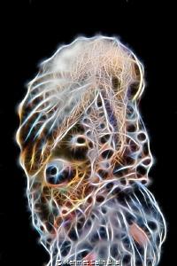 This female paper nautilus on the jellyfish photo is proc... by Mehmet Salih Bilal