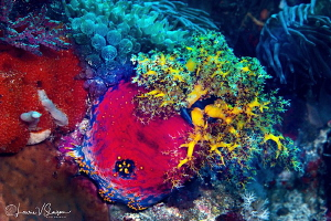 Sea Apple and Anemones/Photographed with a Canon 100 mm m... by Laurie Slawson