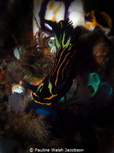 Nudibranch, Tyrannodoris luteolineata by Pauline Walsh Jacobson