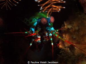 Peacock Mantis Shrimp, Odontodactylus scyllarus, Lembeh by Pauline Walsh Jacobson