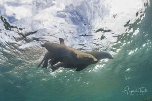 Sea Lion Family in the green,los Islotes en  La Paz, Mexico by Alejandro Topete