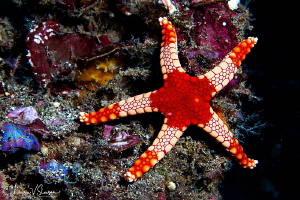 Peppermint Sea Star/Photographed with a Canon 60 mm macro... by Laurie Slawson