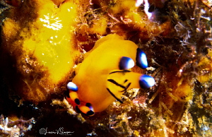 Thecacera pacifica/Photographed with a Canon 60 mm macro ... by Laurie Slawson