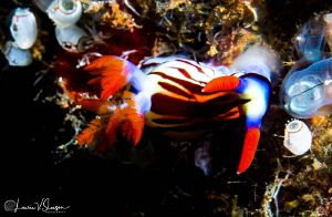 Nembrotha sp. Undescribed eating tunicates/Photographed w... by Laurie Slawson