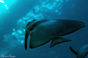 Longfin spadefish under a pier/Photographed with ambient ... by Laurie Slawson
