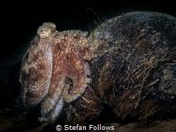 Well, that was awkward!  Coconut Octopus - Amphioctopus... by Stefan Follows