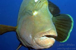 Friendly Napoleon Wrasse by Jaime Wallace