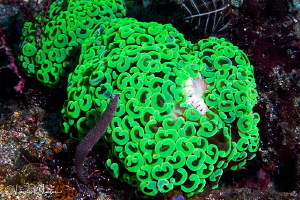 Anchor coral/Photographed with a Canon 60 mm macro lens a... by Laurie Slawson