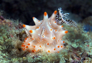 Halgerda batangas/Photographed with a Canon 60 mm macro l... by Laurie Slawson