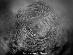 Storm Chevron Barracuda - Sphyraena qenie Sail Rock, Th... by Stefan Follows
