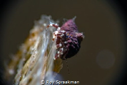 This resident of Edithburgh measuring about 5mm is sittin... by Roy Spraakman