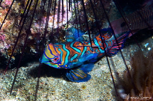 Mandarinfish Through a Sea Urchin/Photographed with a Can... by Laurie Slawson