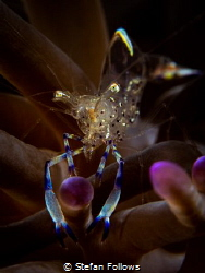 Clown Anemone Shrimp - Ancylocaris brevicarpalis  Sail Ro... by Stefan Follows