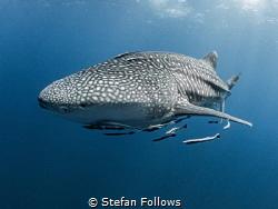 Like the deserts miss the rain ...  Whale Shark - Rhinc... by Stefan Follows