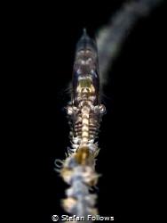 Head-On  Sawblade Shrimp - Tozeuma armatum  Chaloklum... by Stefan Follows