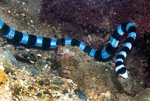 Yellow-lipped sea krait/Photographed with a Canon 60 mm m... by Laurie Slawson