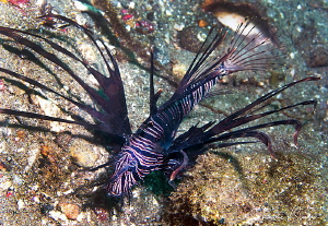 Lionfish/Photographed with a Canon 60 mm macro lens at Al... by Laurie Slawson