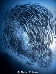 nar·co·sis  Chevron Barracuda - Sphyraena qenie  Sail... by Stefan Follows