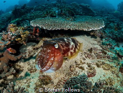 Whoop! Whoop! Whoop!  Reef Cuttlefish - Sepia latimanus... by Stefan Follows