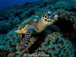 Hello!  Hawksbill Turtle - Eretmochelys imbricata  Ba... by Stefan Follows