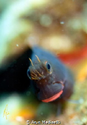 Redlipped blenny smiling by Arun Madisetti