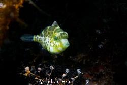 Juvenile mimic filefish by Julian Hsu