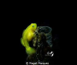 Yellow Goby pregnant  Common name yellow Gobyfish, meani... by Magali Marquez