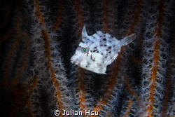 Juvenile filefish by Julian Hsu