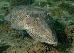 Cuttlefish... by Eduard Bello