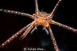 Spider squat lobster by Julian Hsu