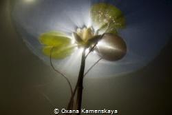 Water lily. Tver' Russia. by Oxana Kamenskaya