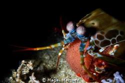 Peacock Mantis Shrimp carrying Eggs Nikon D7200  Sea&Se... by Magali Marquez