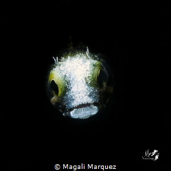 Spinyhead blenny with Retra snoot  F20.0 1/250 ISO100  ... by Magali Marquez