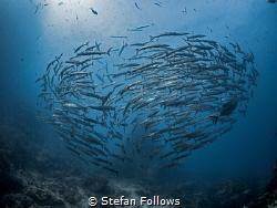 nu·cle·us  Chevron Barracuda - Sphyraena qenie  Sail ... by Stefan Follows