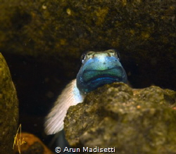 A loach in a rain forest stream by Arun Madisetti