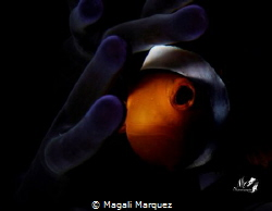 Watching the dawn of a new day Clownfish with Retra snoo... by Magali Marquez