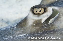 Full-frame macro of a Southern Stingray eye. The iris loo... by Patrick Reardon