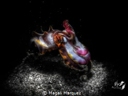 Black white and color  Flamboyant cuttlefish(metasepia P... by Magali Marquez