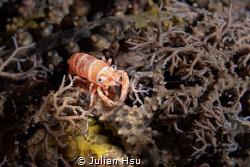 Basket star shrimp by Julian Hsu