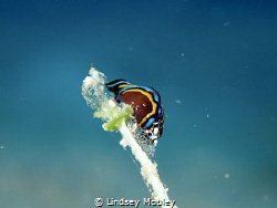 Leech Aglaja with Eggs by Lindsey Mobley