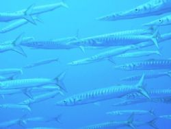 Barracudas by Hakan Taslicay