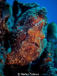 Psychedelic Eric  Giant Frogfish - Antennarius Commerso... by Stefan Follows
