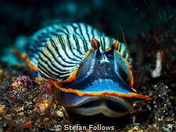 Lil Creep ...  Nudibranch - Armina semperi  Bali, Ind... by Stefan Follows