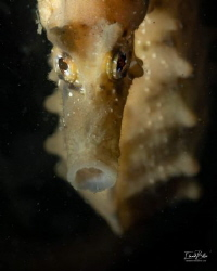 Shortnose seahorse, rather rare in the dutch waters. by Eduard Bello
