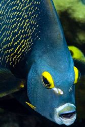 Face of an Angel. Very friendly angel fish on a dive in G... by Larissa Roorda